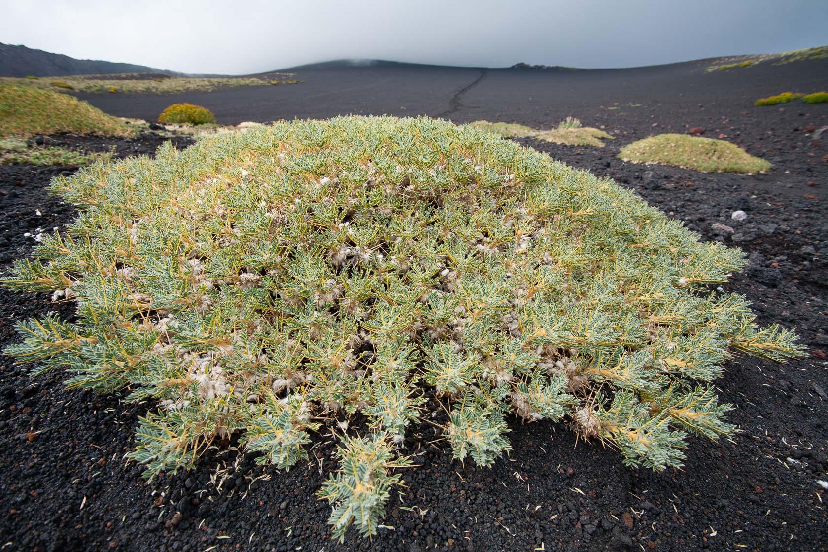 végétation pionnière sur les pentes de l'Etna, astragale de Sicile (Astracantha simula)