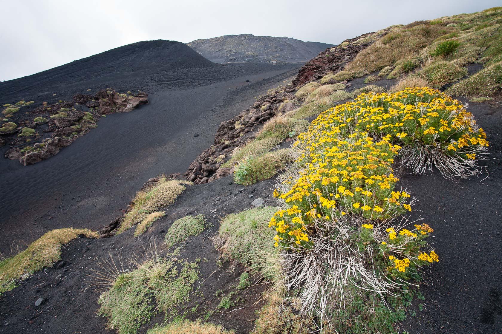 végétation pionnière sur les pentes de l'Etna en Sicile