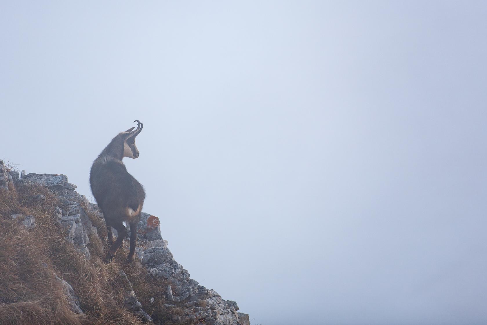 Chamois (Rupicapra rupicapra) en rut dans la réserve nationale des hautes Bauges