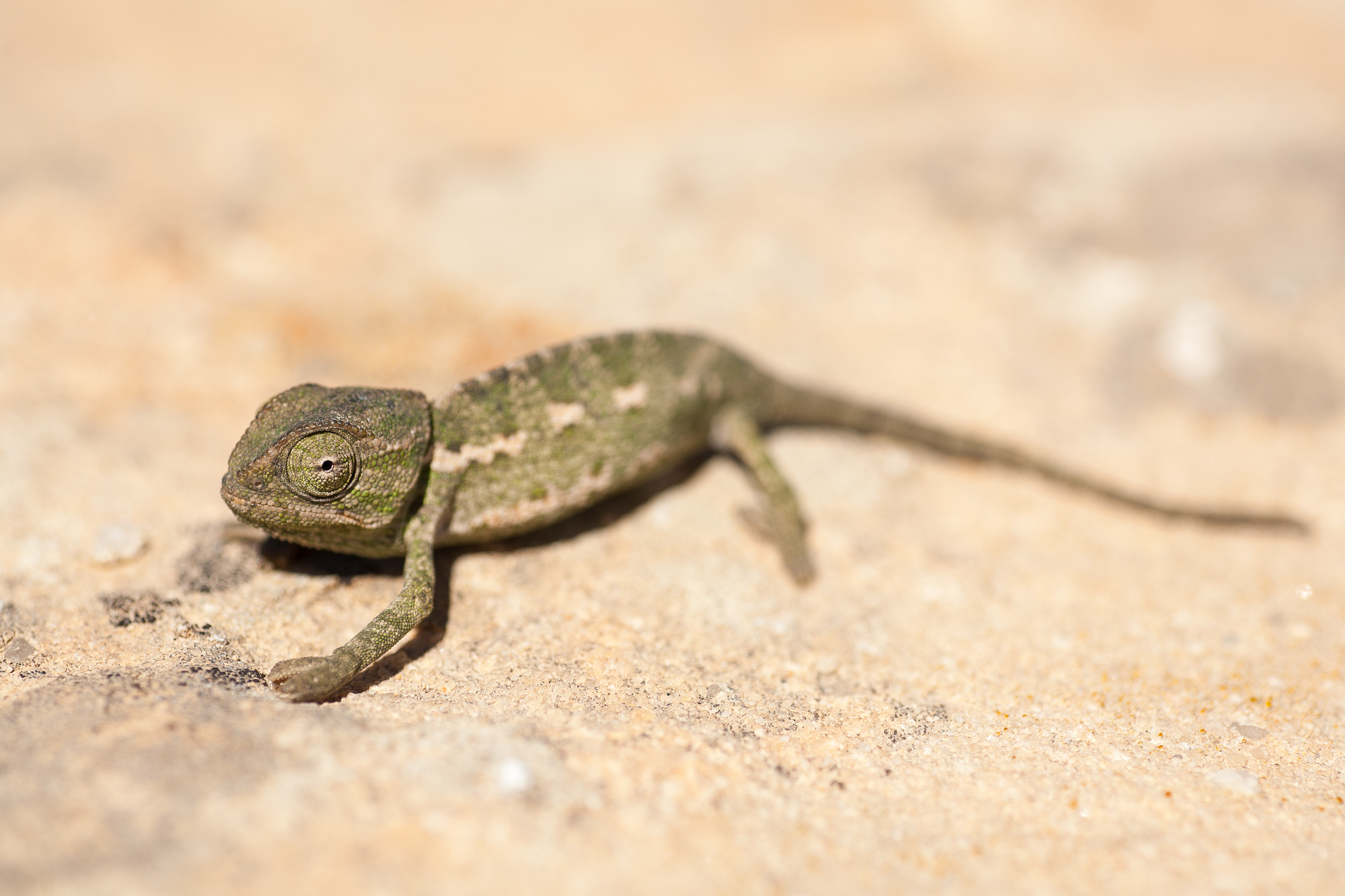 Caméléon commun (Chamaeleo chamaeleon) dans la réserve naturel de Wadi Dana en Jordanie