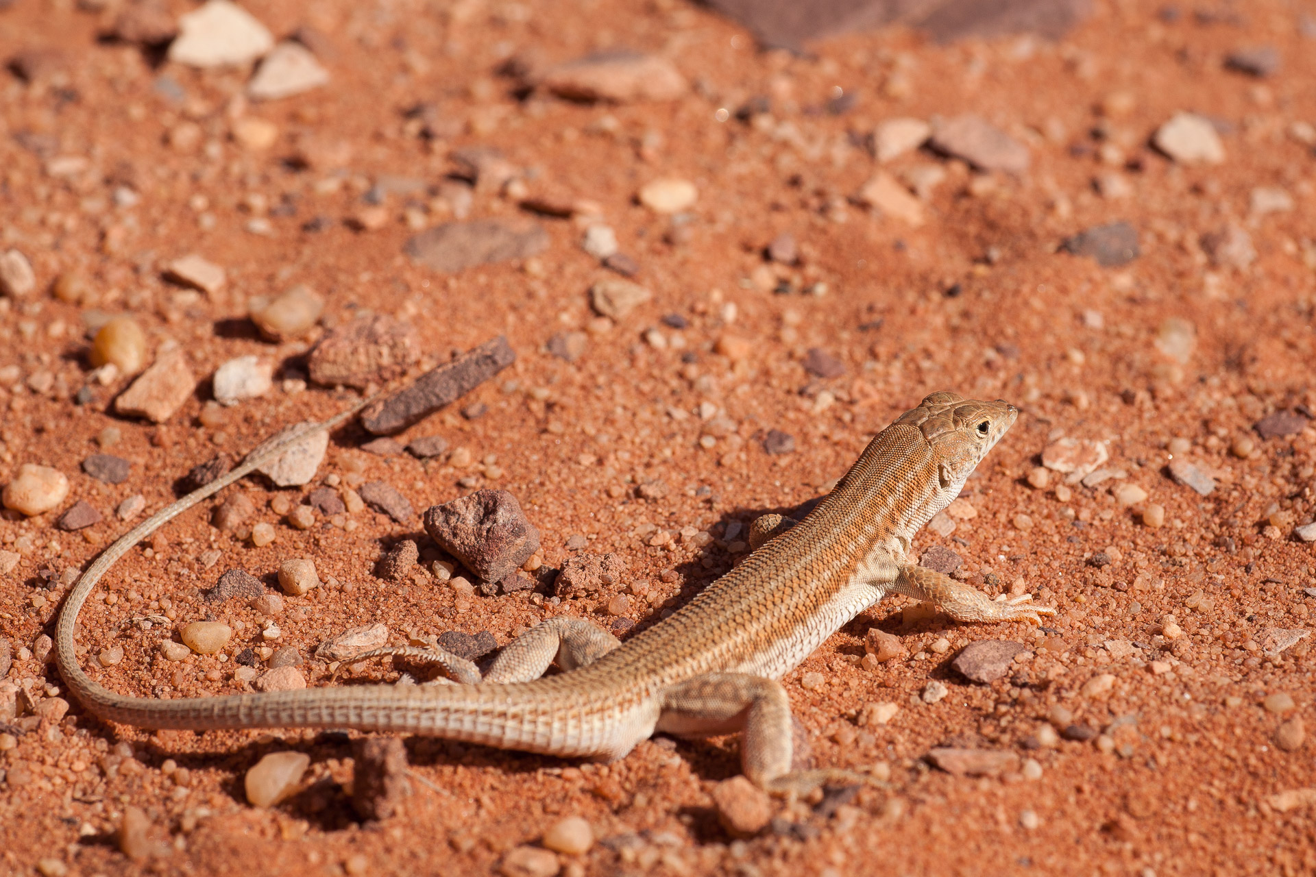Lézard (Acanthodactylus opheodurus) dans le désert de Wadi Rum en Jordanie