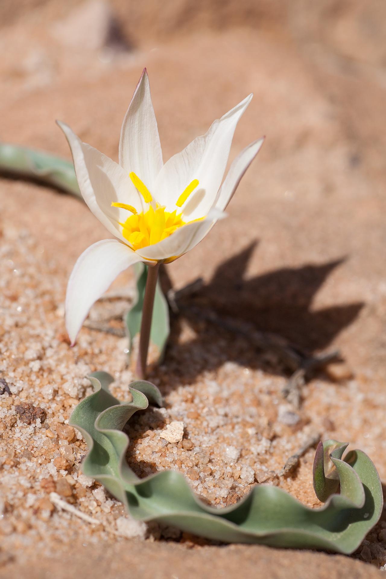 Tulipe du Wadi Rum