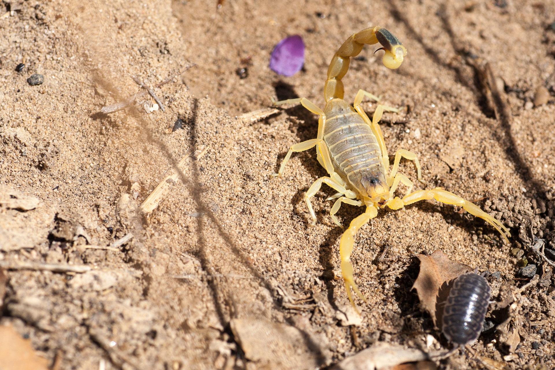 Scorpion dans le réserve naturelle de Wadi Dana en Jordanie