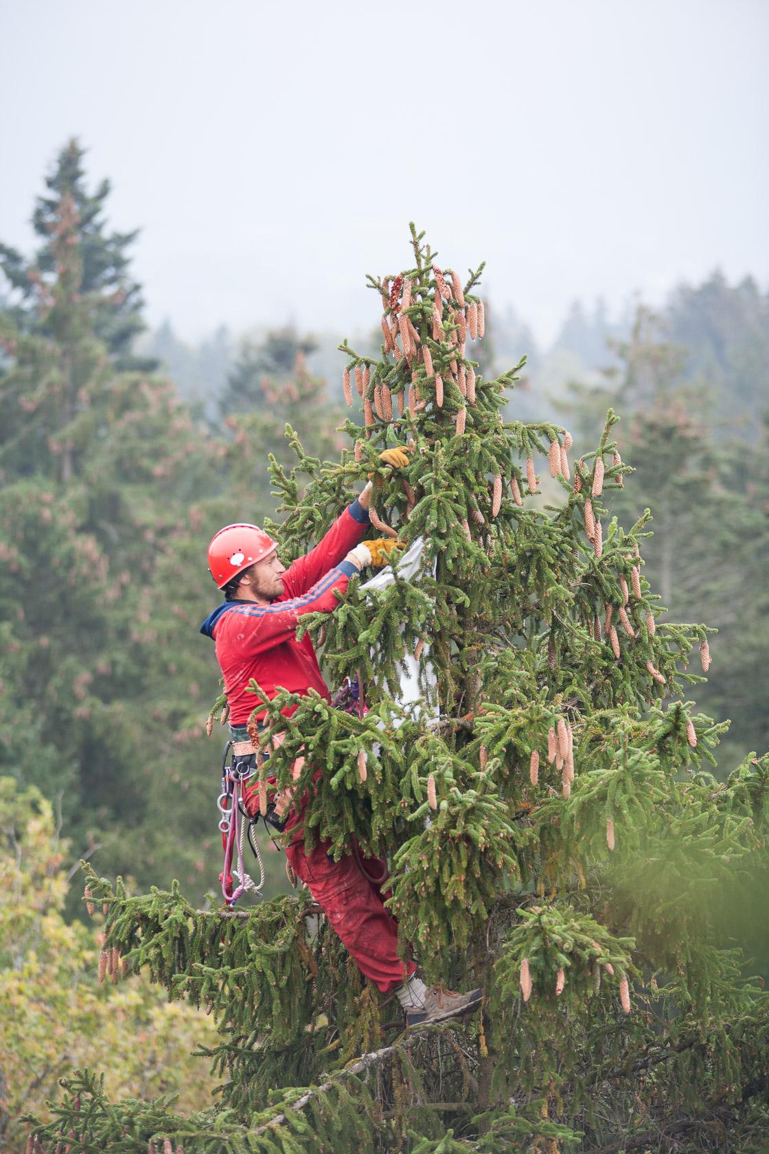 Récolte de cônes d'épicéa (Picea abies) en haute Savoie