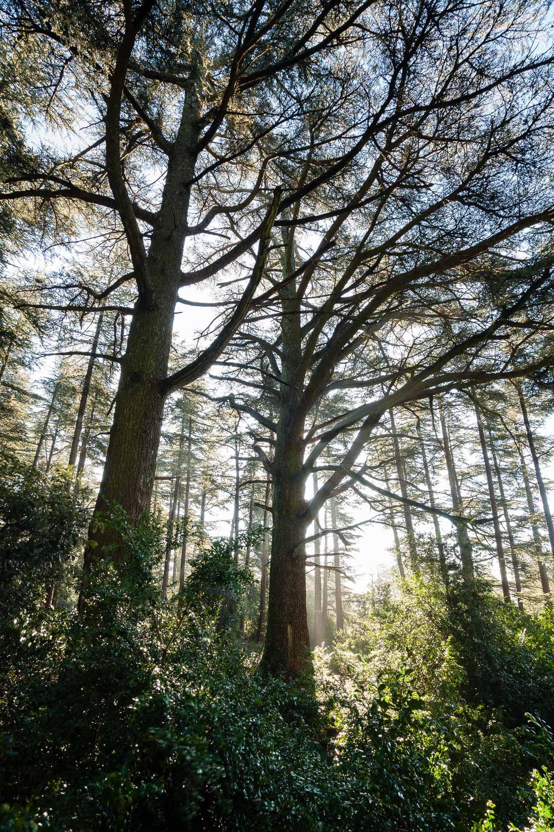La forêt des cèdres, à Bonnieux dans le Lubéron