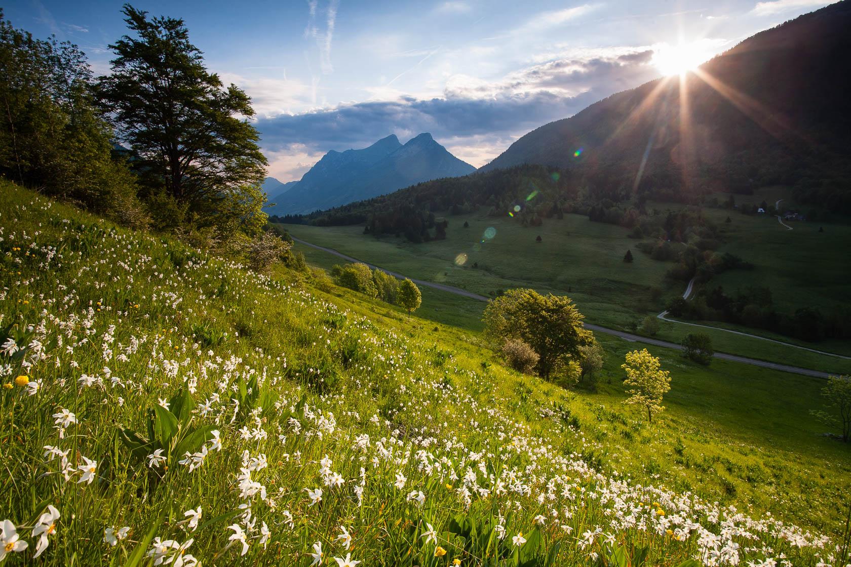 champs de narcisses (Narcissum poeticus) au col des Prés, dans le massif des bauges