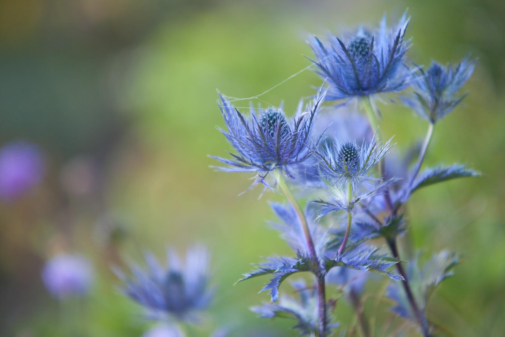 chardon bleu des alpes (Eryngium alpinum), sous l'Arclusaz, massif des Bauges