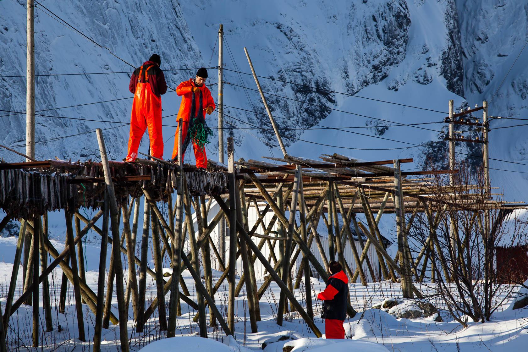 Pêcheurs de morue sur les séchoirs de Sakrisøya, dans les îles Lofoten en Norvège