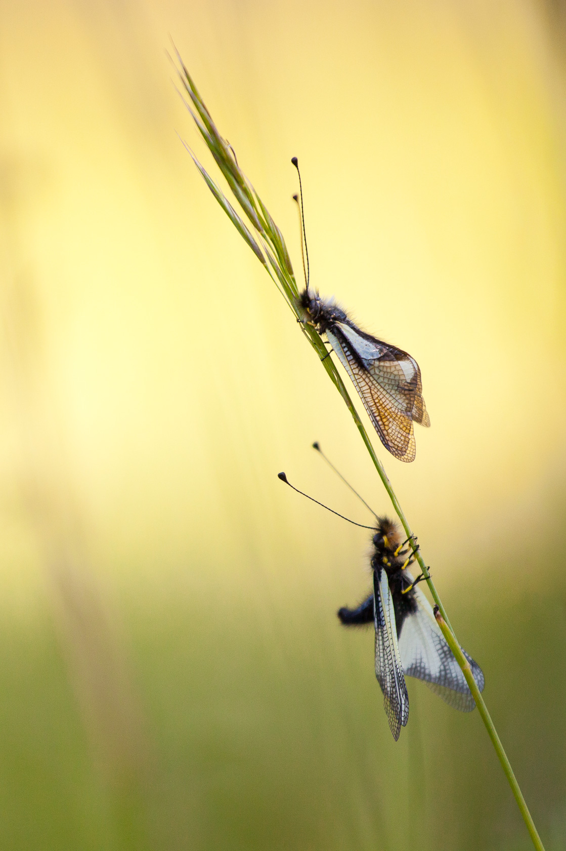 Ascalaphes soufrés (Libelloides coccajus) dans une prairie du massif des Bauges
