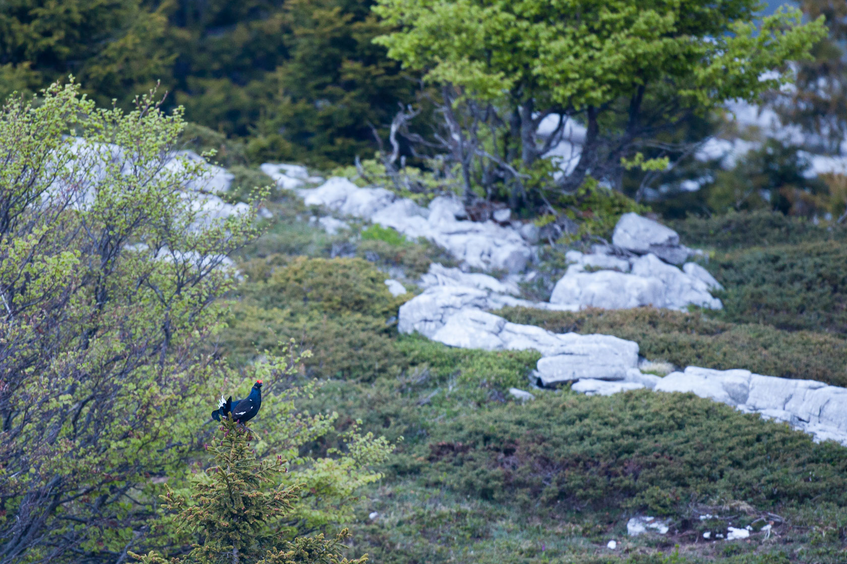 Tétras lyre (Lyrurus tetrix) mâle en parade, sur le mont Margeriaz, dans le massif des bauges