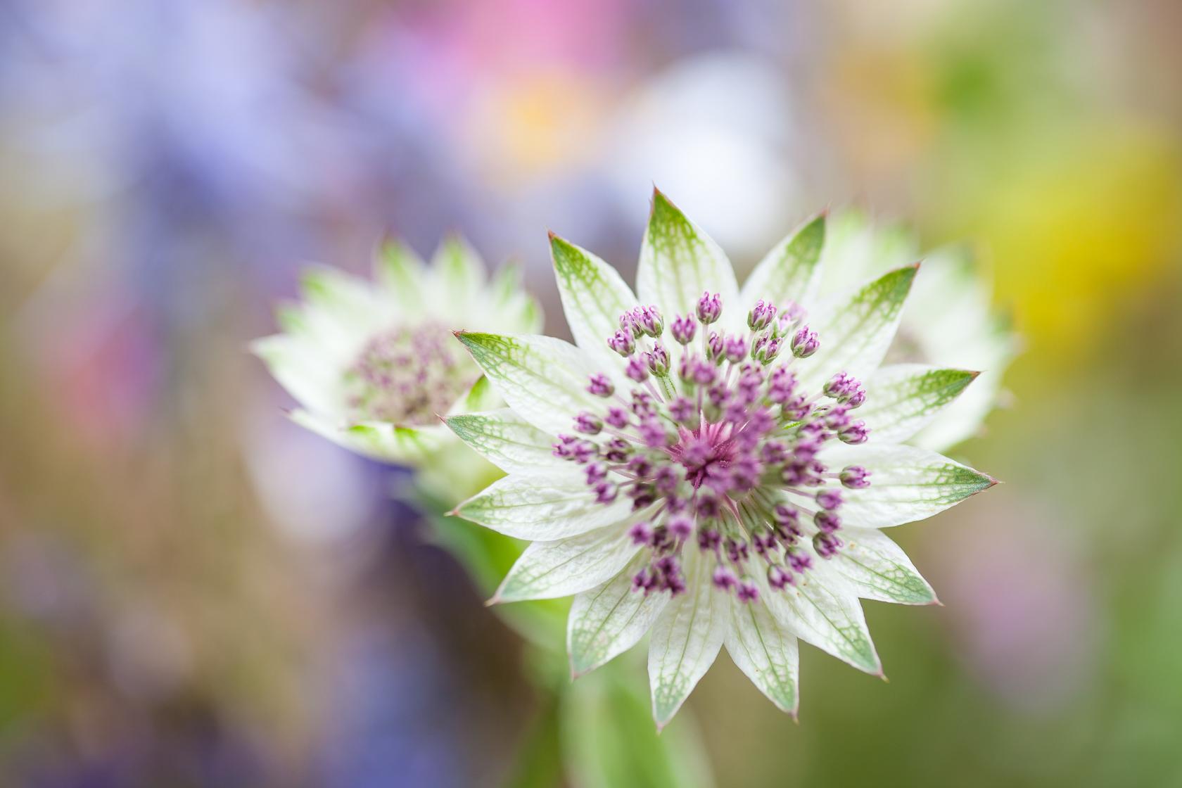 Fleur de grande Astrance (Astrancia major)dans les prairies de montagnes des Bauges