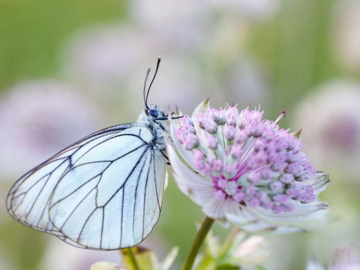Papillons et fleurs de montagne