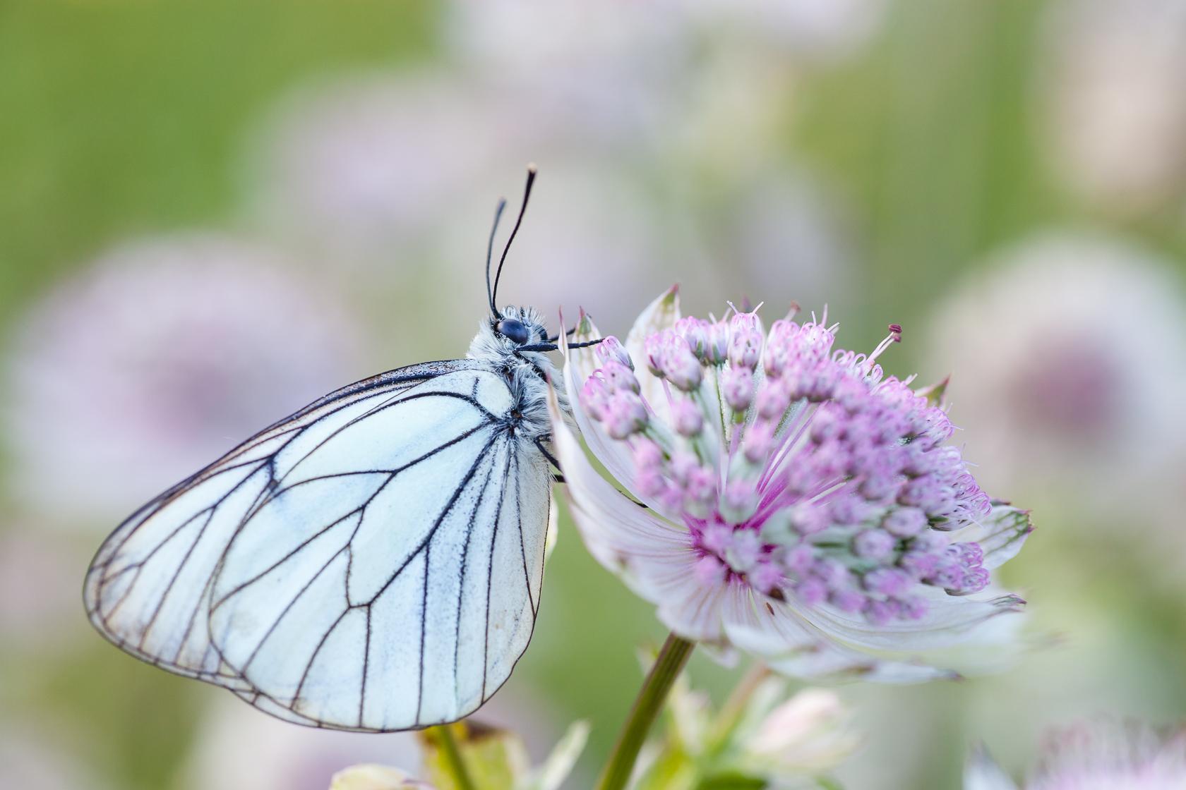 papillon sur une fleur de grande astrance