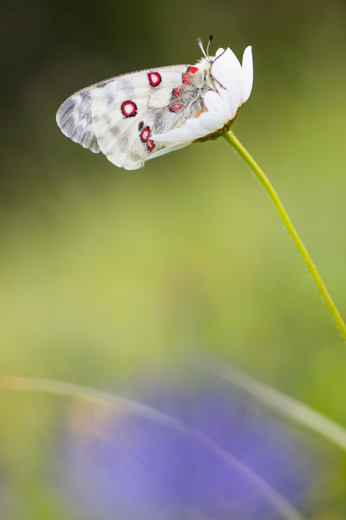 Papillon Apollon (Parnassius apollo) sur une marguerite dans les Bauges
