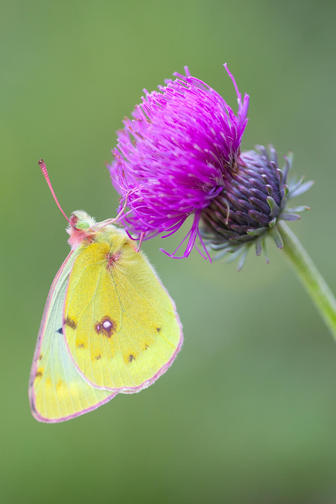 papillon Souci (Colias crochus) sur une chardon, dans les Bauges