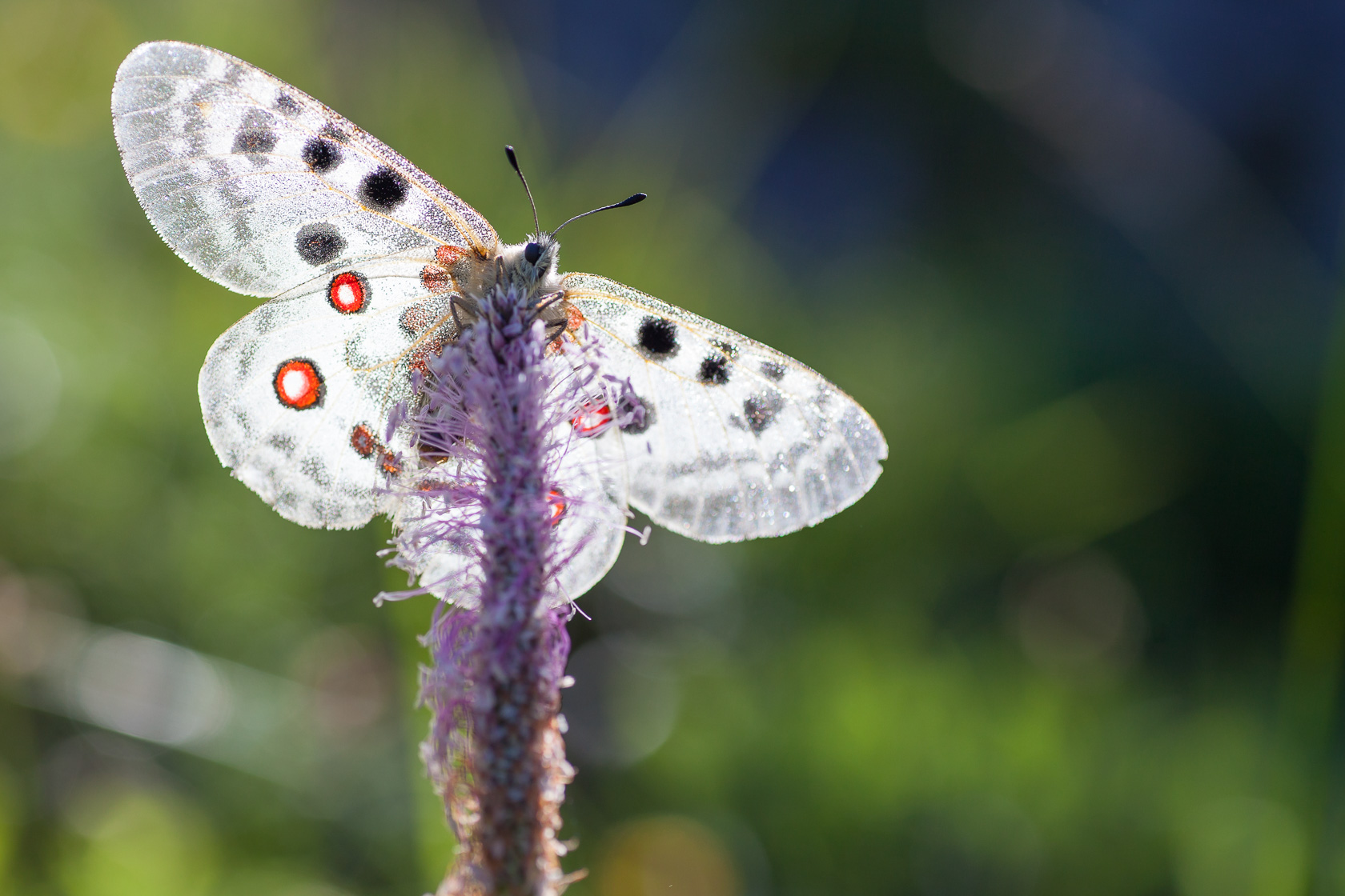 Papillon Apollon (Parnassius apollo) dans les Bauges pendant un stage photo papillon