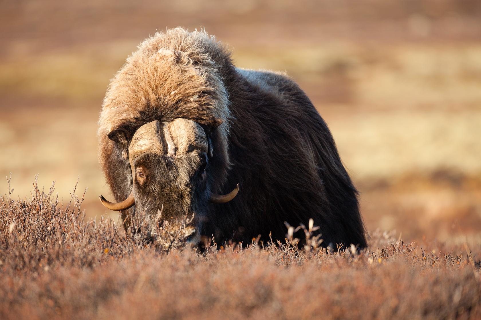 Boeuf musqué male (Ovibos moschatus) dans le parc national de Dovrefjell