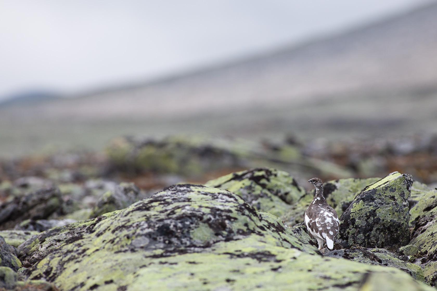 Lagopède alpin (Lagopus muta) femelle dans les rochers du parc national de Dovrefjell en Norvège