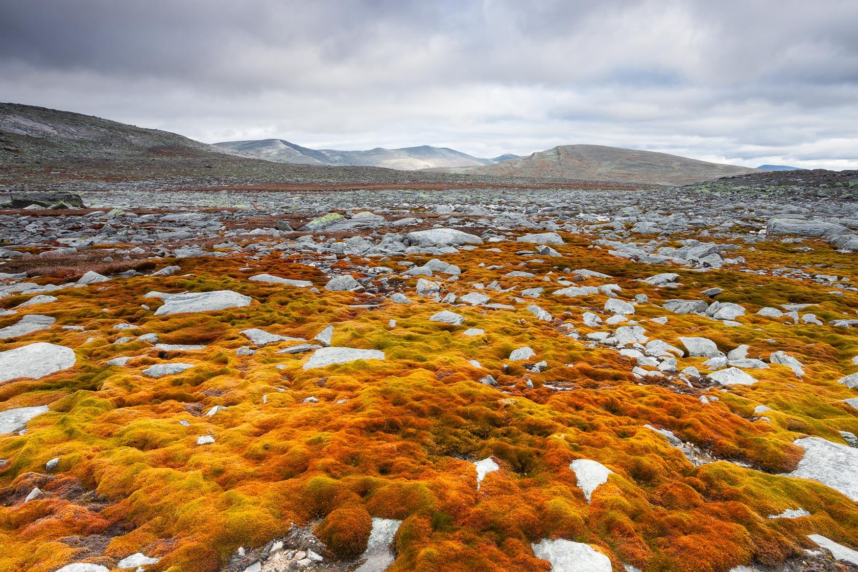 Etendues de mousses bryophytes dans le parc national de Dovrefjell