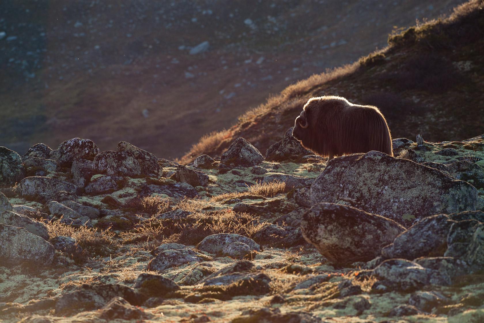 Boeuf musqué male (Ovibos moschatus) Dovrefjell national park, Norway