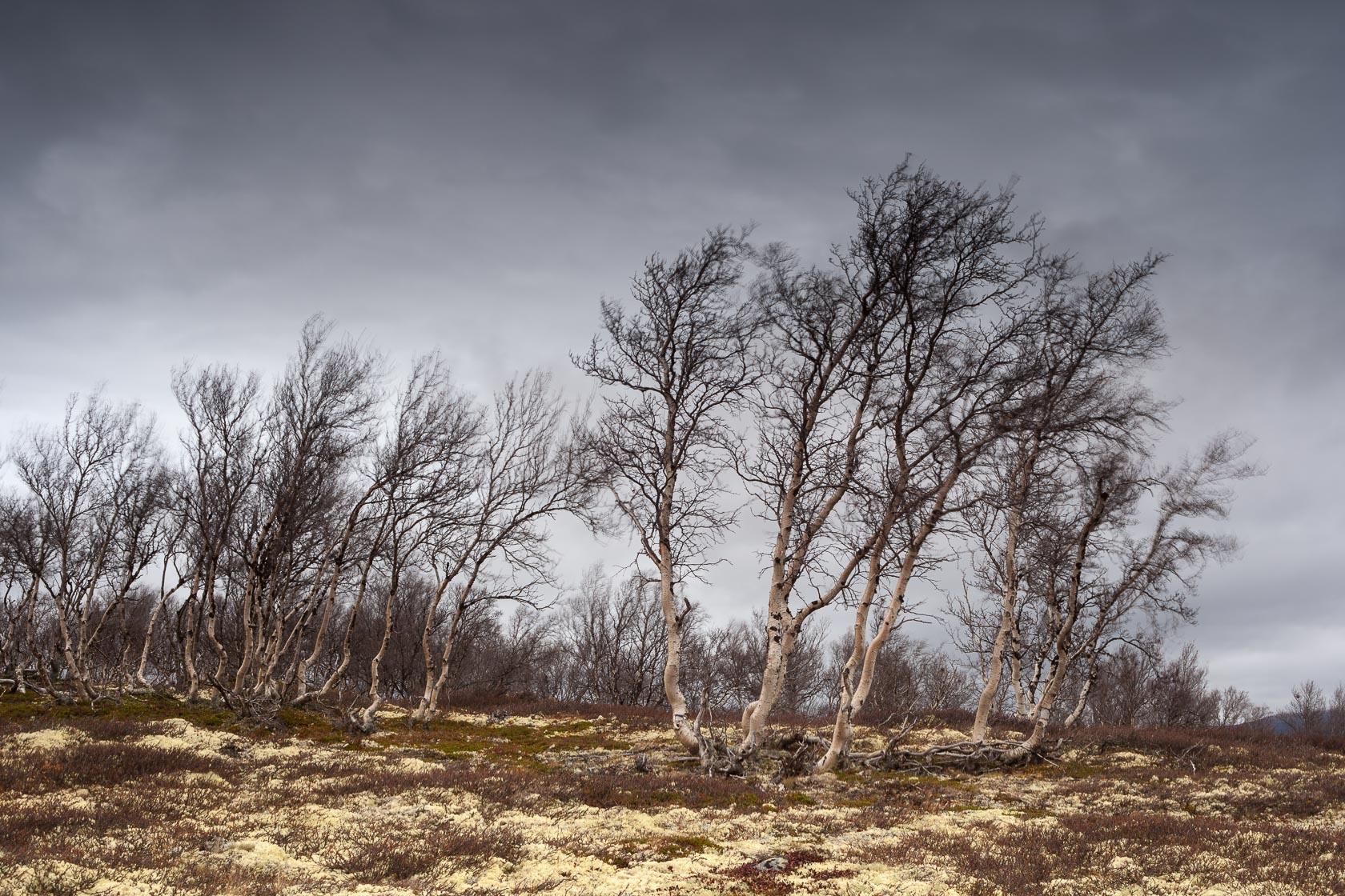 bouleaux dans le toundra du Dovrefjell en Norvège