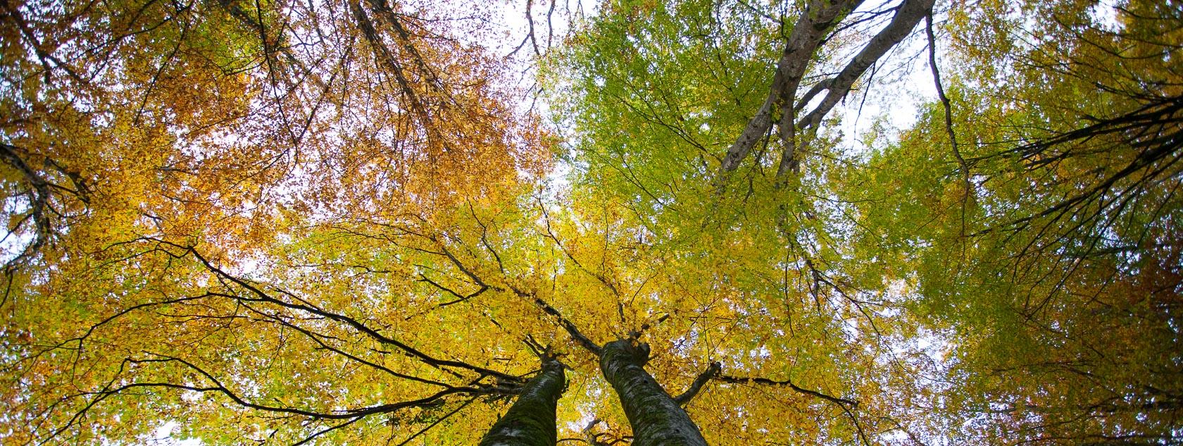 Forêt de hêtres en automne dans les Bauges