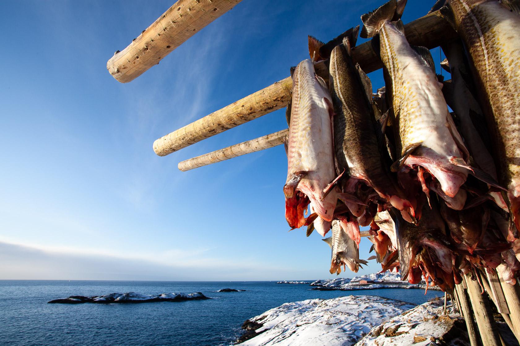 Morues sur les séchoirs à Hamnøya, dans les îles Lofoten, en Norvège