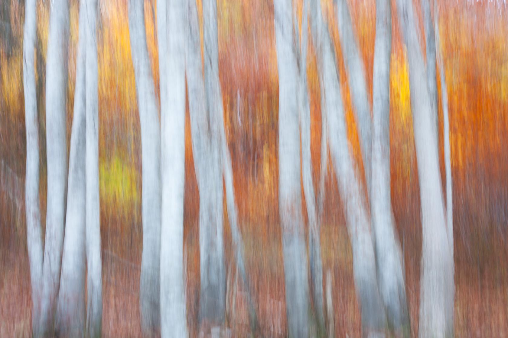 forêt de hêtre (Fagus sylvatica) en automne, dans les Bauges