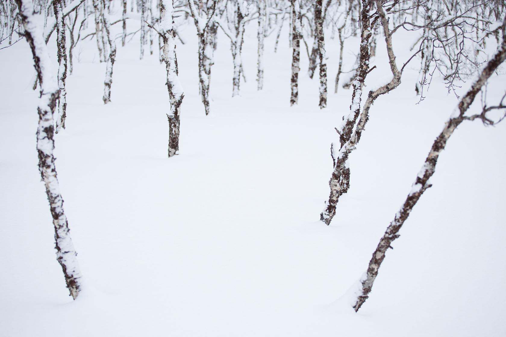 forêt de bouleaux en hiver, dans les Alpes de Lyngen, en Norvège