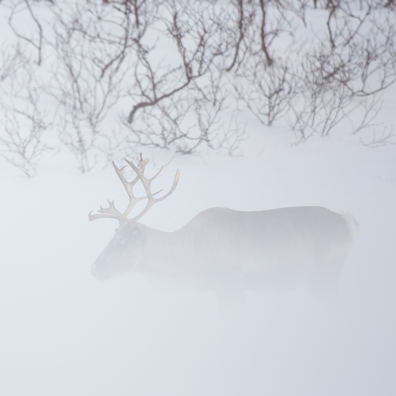 renne (Rangifer tarandus) à Senja, en Norvège