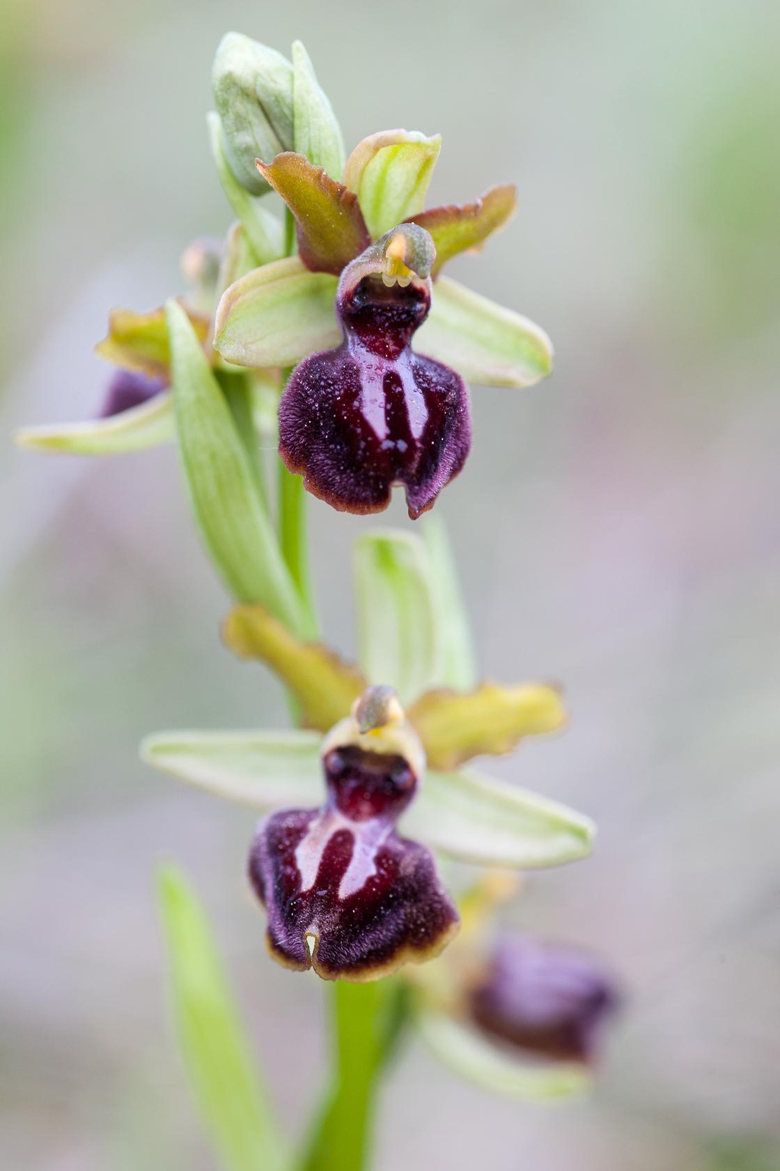 orchidée Ophrys passionis dans la garrigue du Lubéron, en France