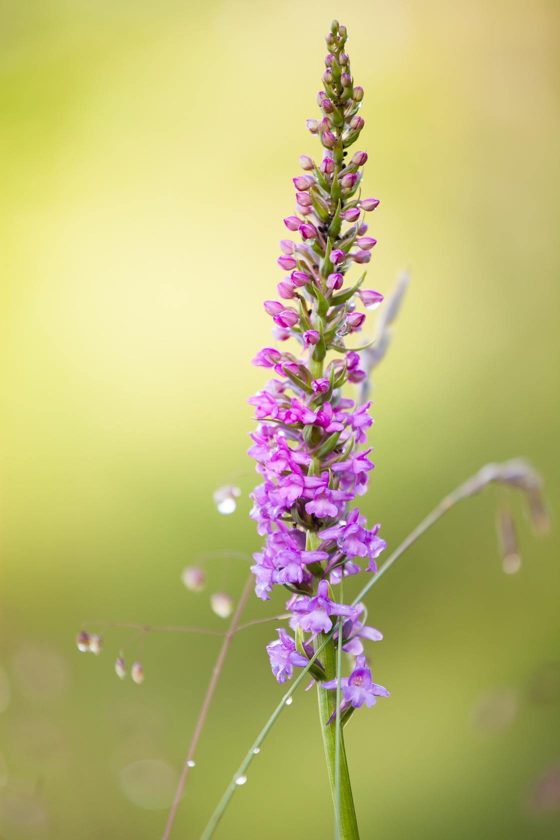 orchidée orchis moustique Gymnadenia conopsea