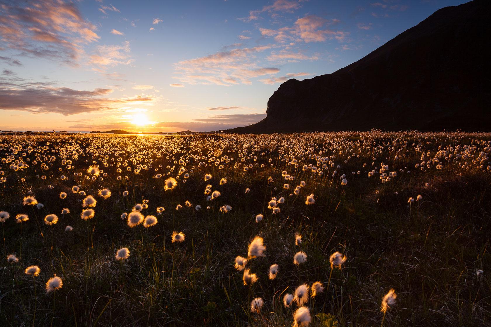 Soleil de minuit sur les linaigrettes, dans les îles Lofoten, en Norvège