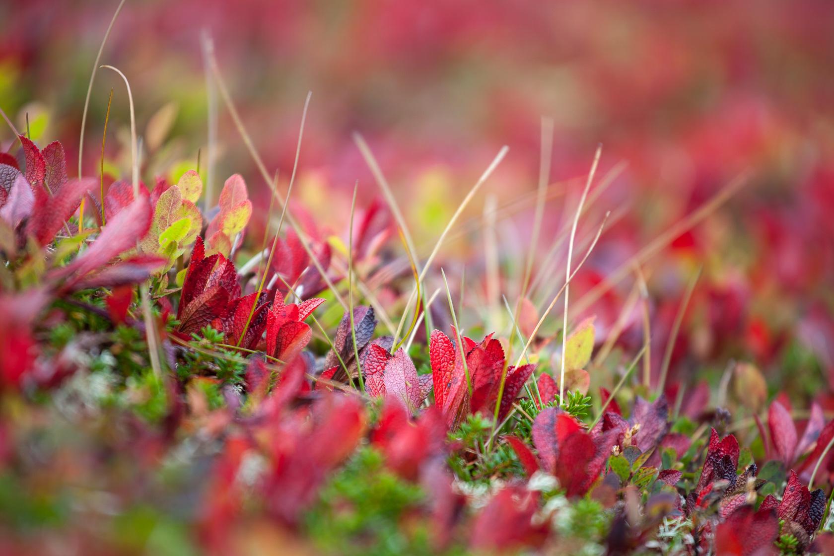 couleurs d'automne dans le végétation de la toundra pendant la randonnée au Ryten, dans les îles Lofoten