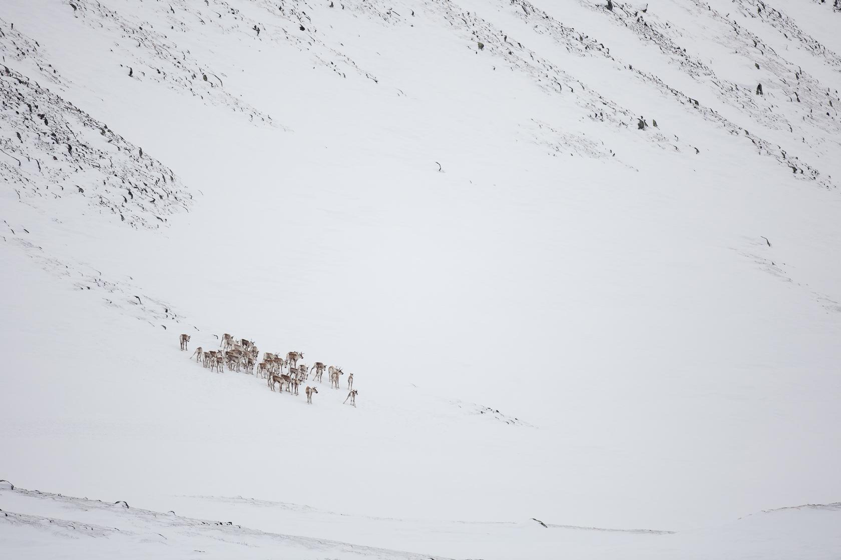 troupeau de rennes sauvages (Rangifer tarandus) dans le parc national de Dovrefjell en Norvège