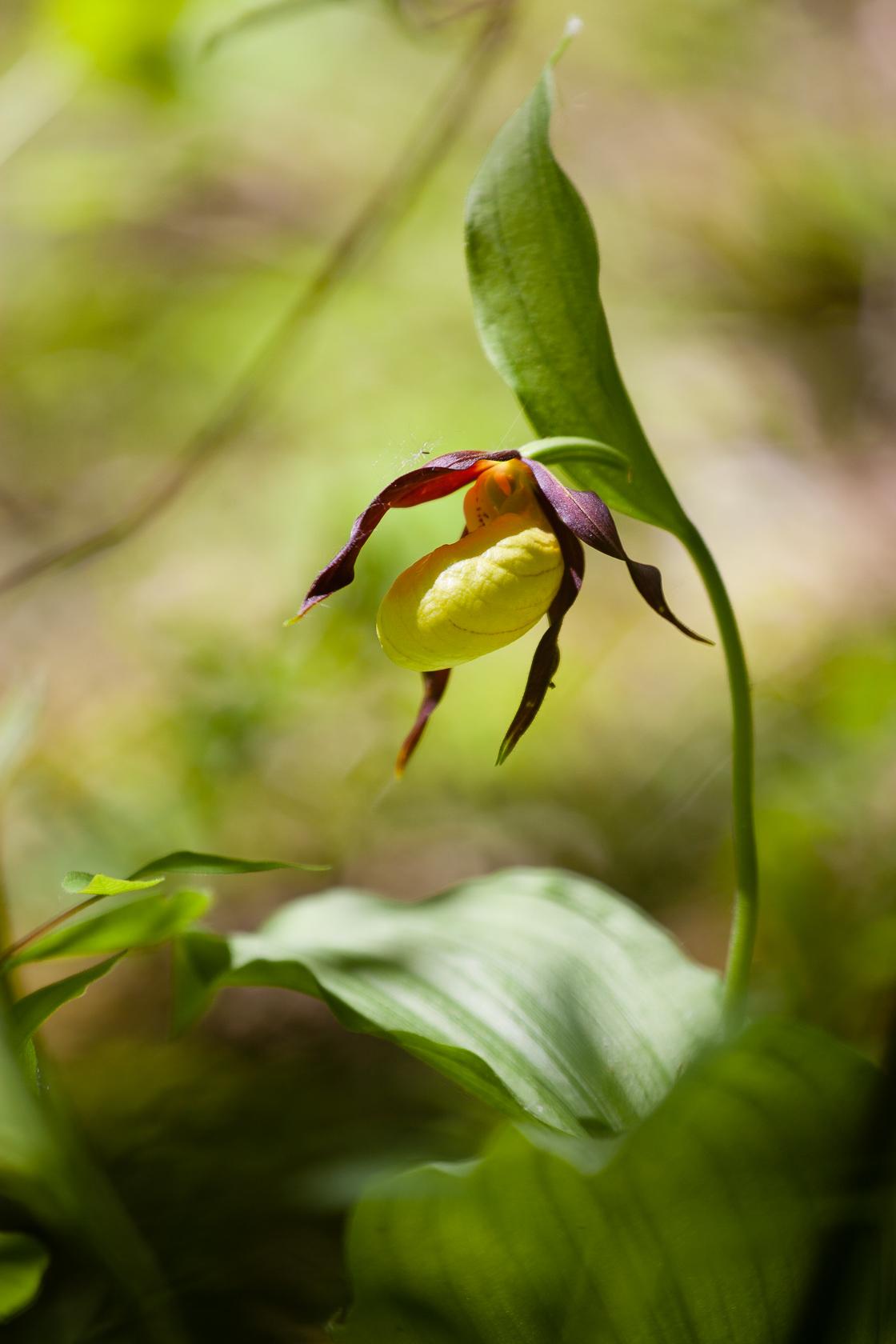 Orchidée sabot de vénus Cypripedium calceolus