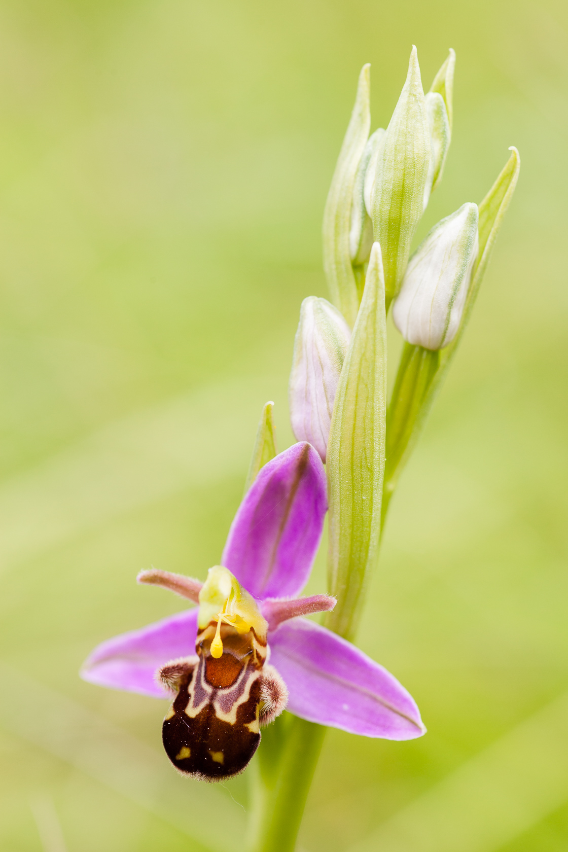 Orchidée ophrys abeille Ophrys apifera var aurita