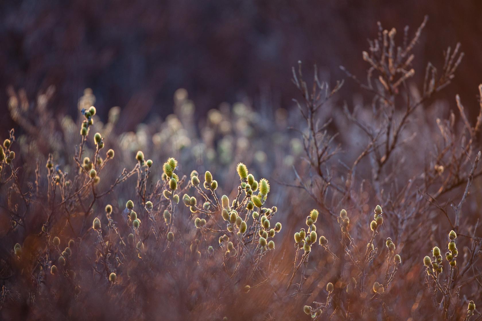 saules en fleurs dans le parc national de Varanger en norvège