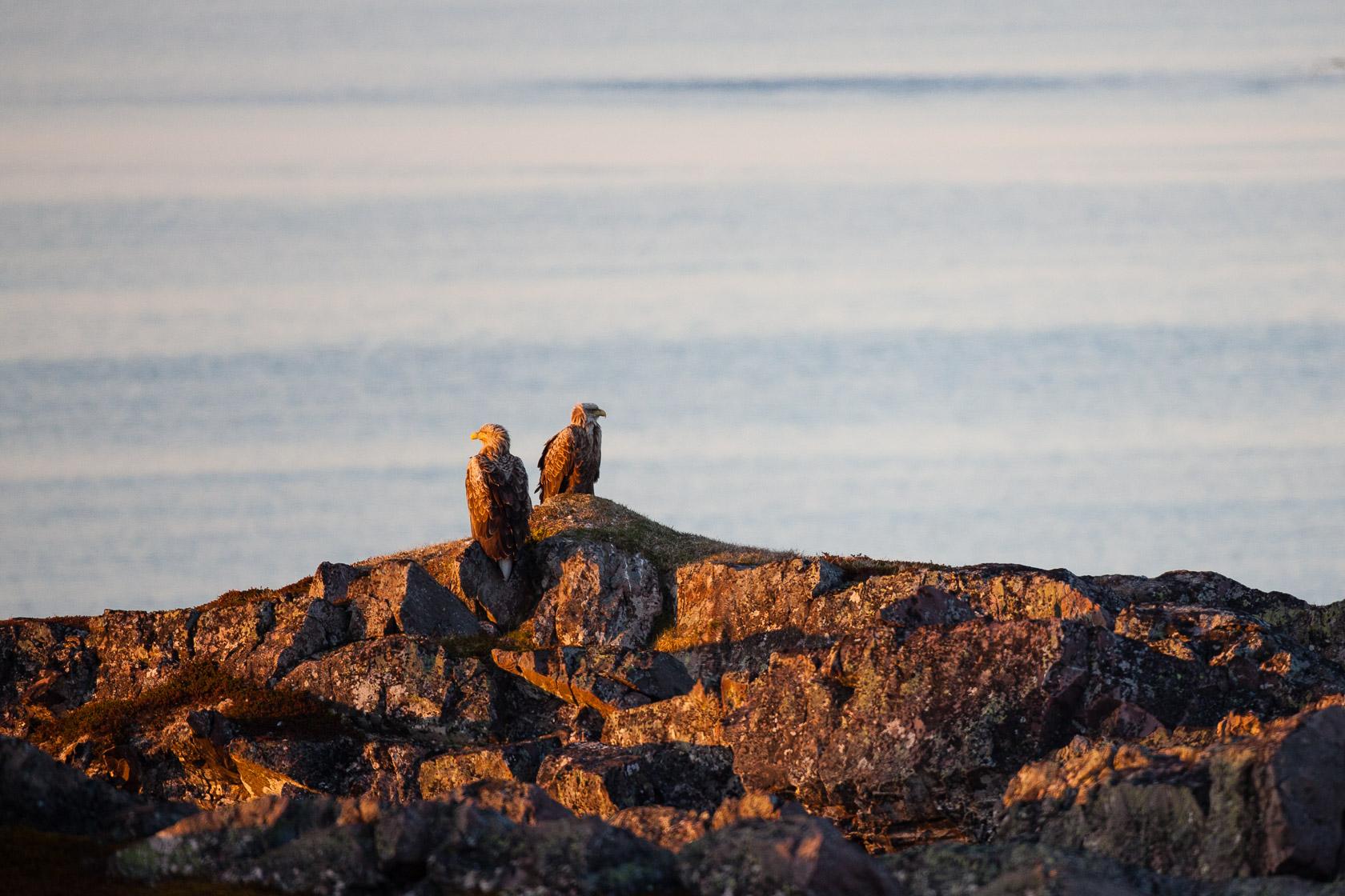 Pygargues à queue blanche (Haliaeetus albicilla) sur le littoral du Varanger en Norvège