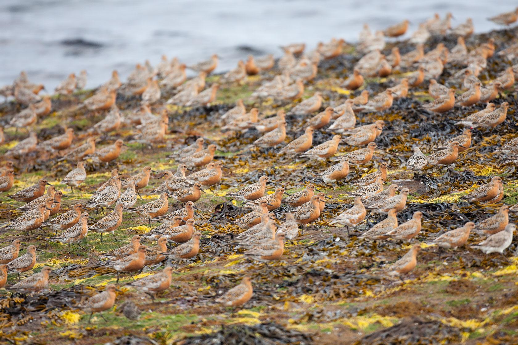 groupe de bécasseaux maubèches (Calidris canuts) sur le littoral du Varanger, en Norvège