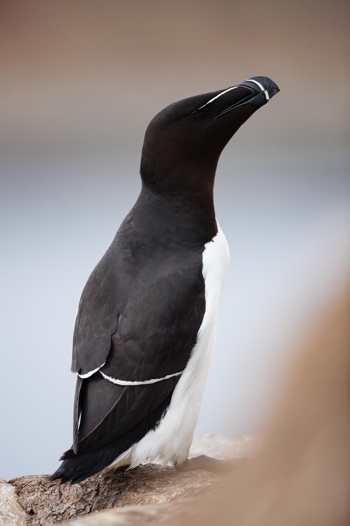 Pingouin torda (Alca torda) sur l'île d'Hornøya, en Norvège