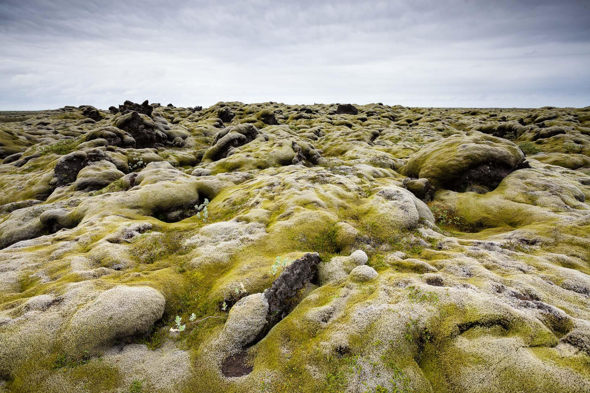 champ de lave couvert de mousse laineuse (Racomitrium lanuginosum) en Islande