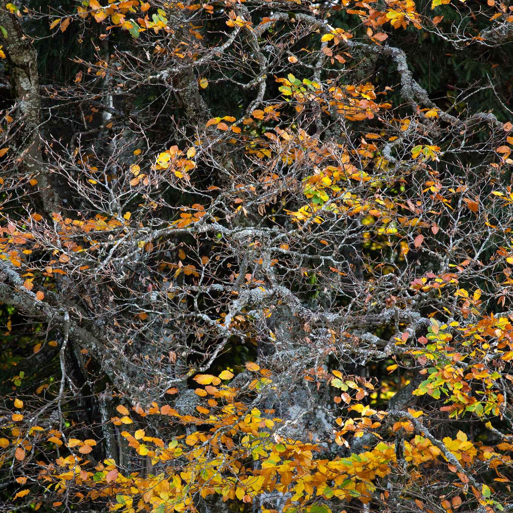Hêtre en automne, tourbière des Creusates