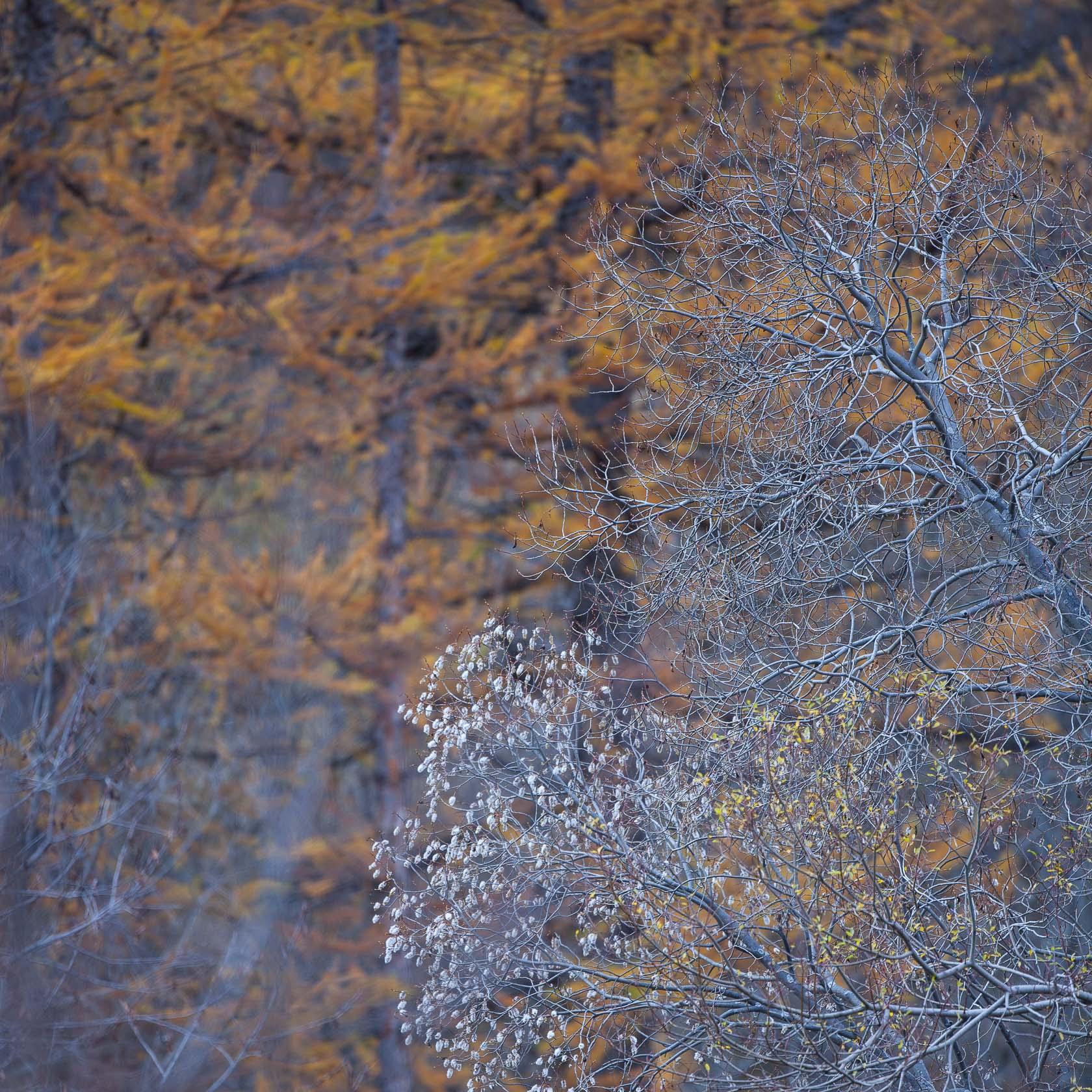Forêt de mélèzes (Larix décida) et saules à Névache, dans les Hautes Alpes