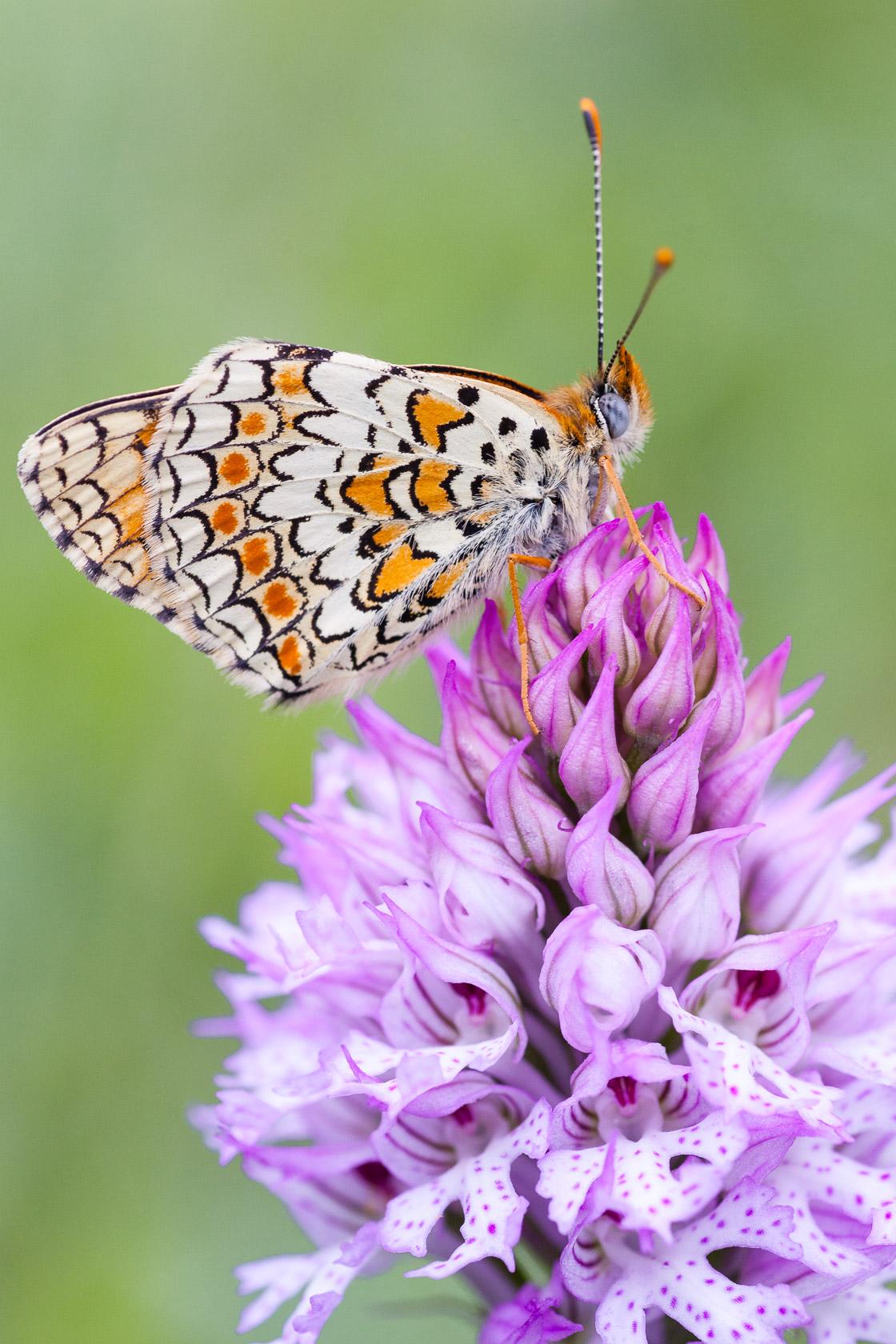 papillon une orchidée Neotinea tridentata