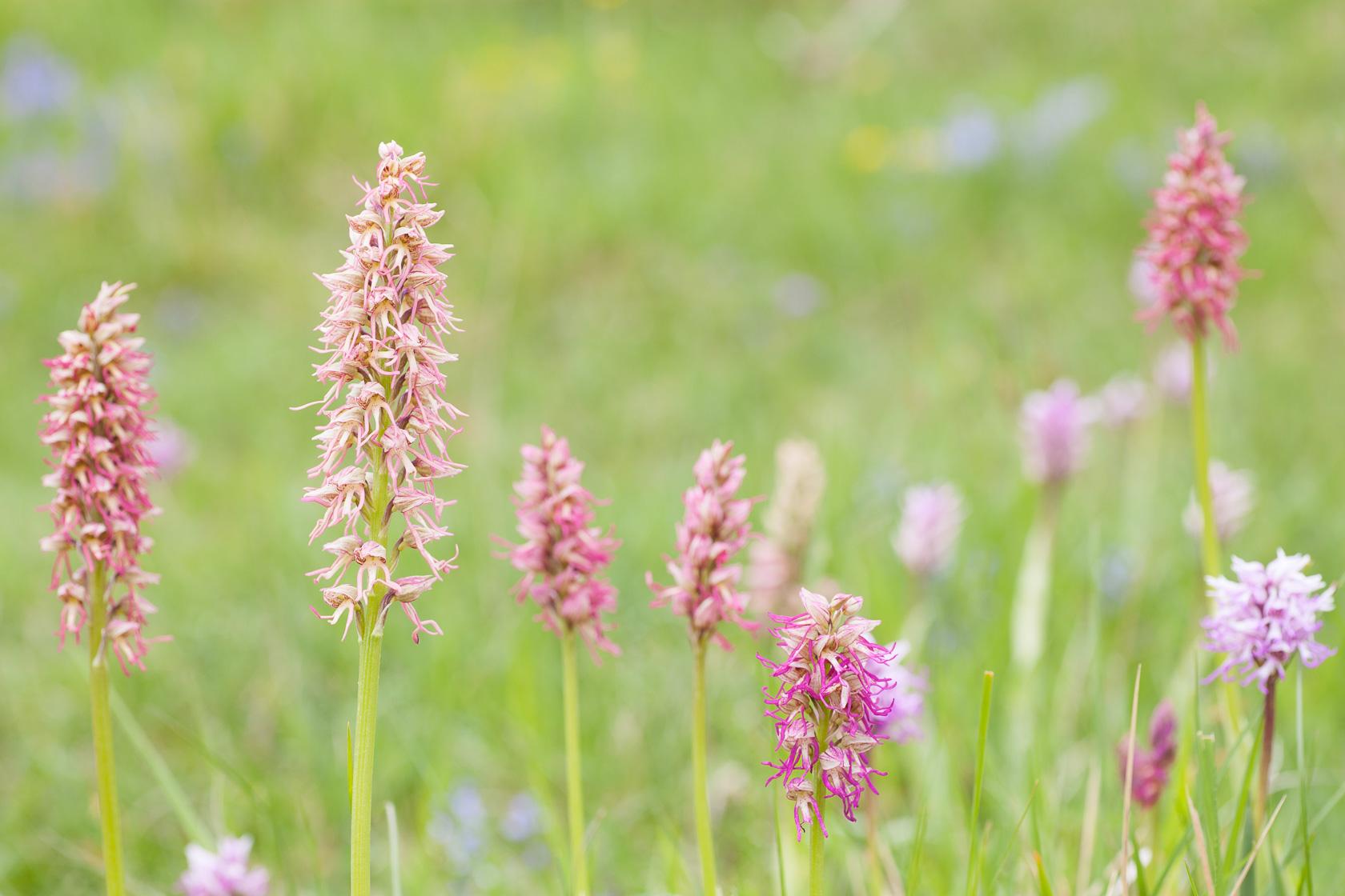 Orchidée hybride Orchis x bergonii entre Orchis simia et orchis anthropophora
