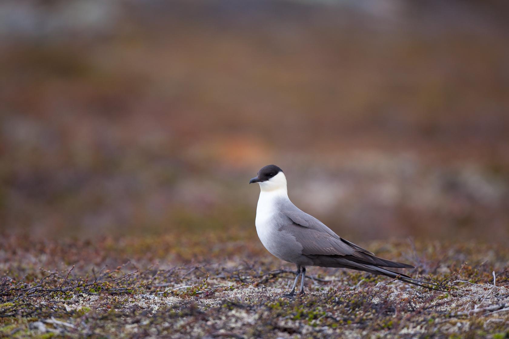 Labbe à longue queue (Stercorarius longicaudus) sur la toundra du parc national de varanger, en Norvège