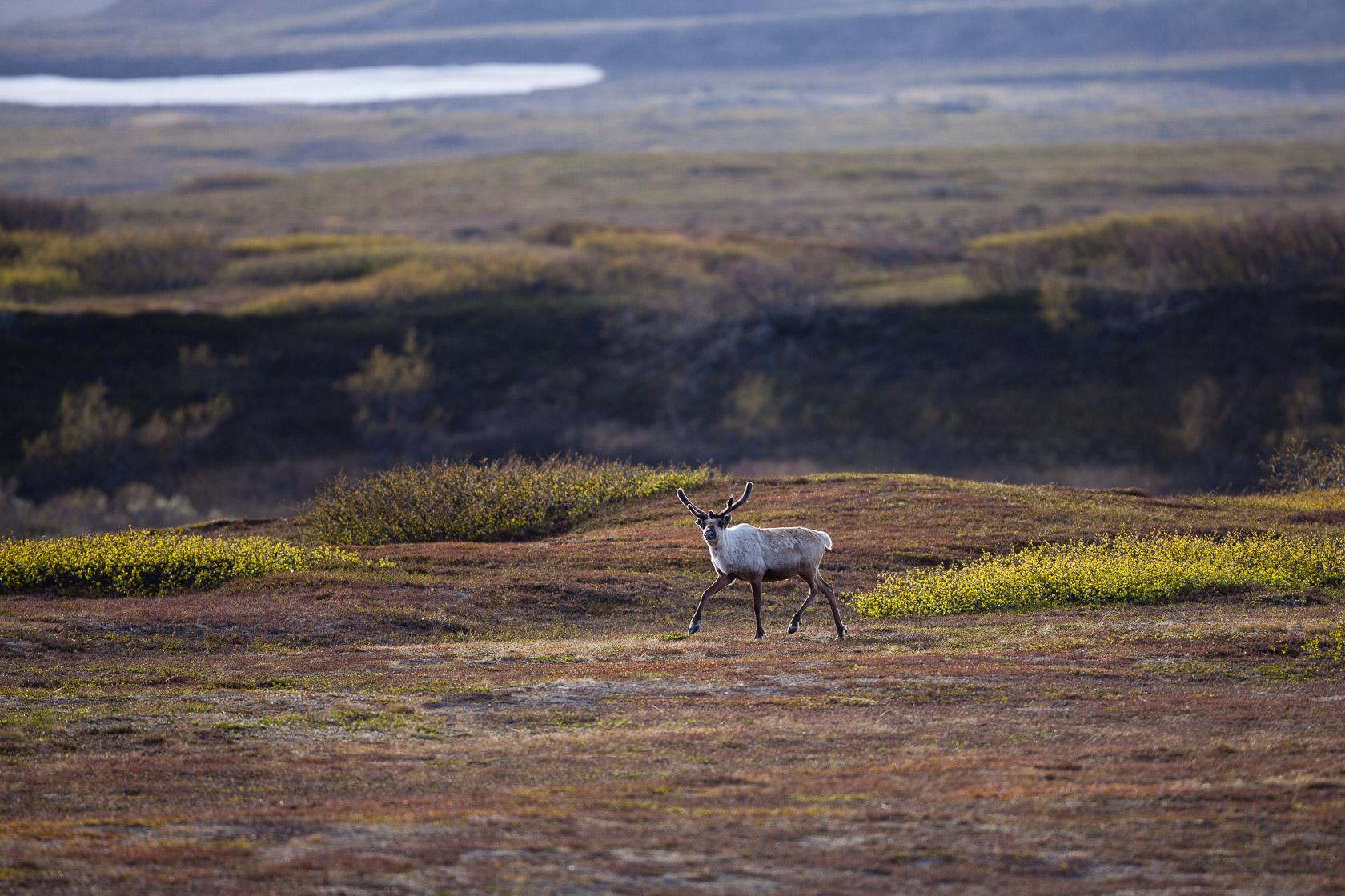 renne (Rangifer tarandus) dans le varanger en Norvège