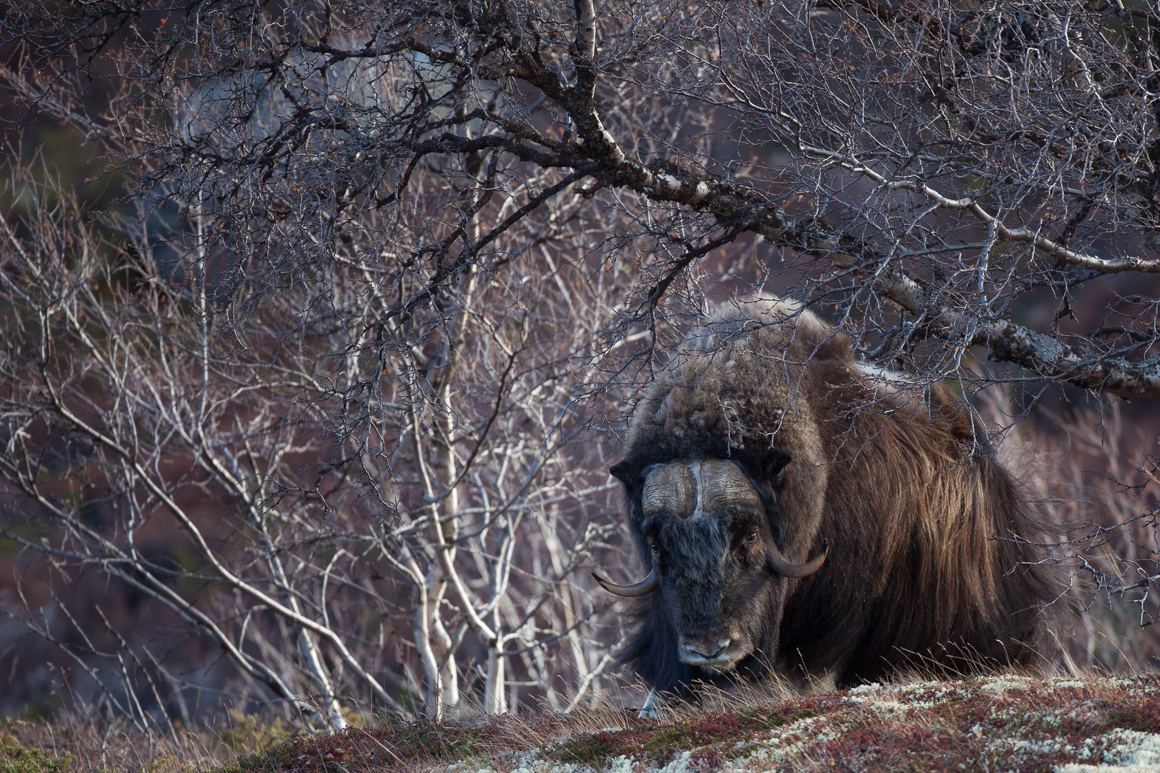 Boeuf musqué (Ovibos moschatus) mâle dans le parc national de Dovrefjell