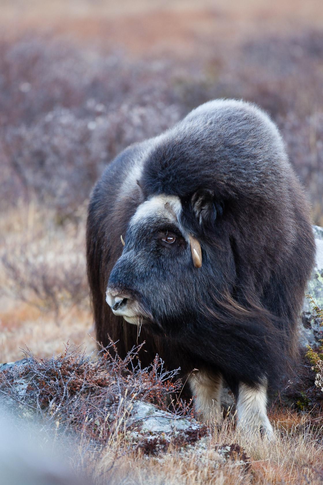 Boeuf musqué (Ovibos moschatus) jeune femelle dans le parc national de Dovrefjell